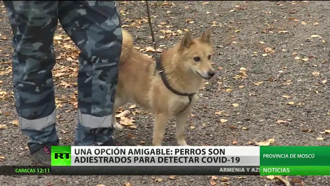 Adiestran a perros para detectar el covid-19 en Rusia