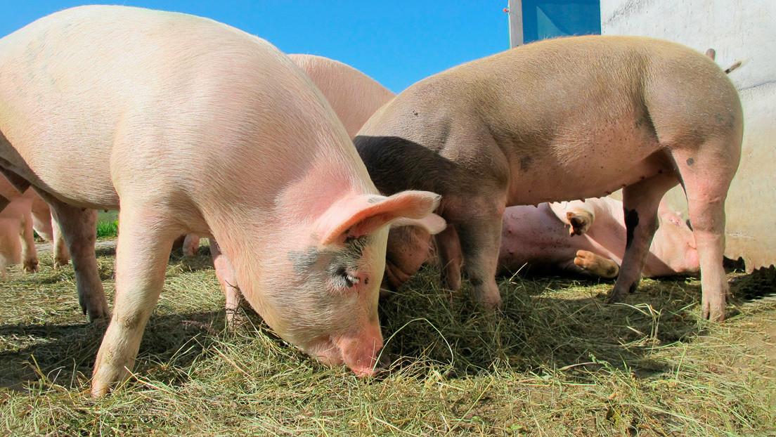 Los trasplantes de corazón de cerdo a humano podrían ser realidad en 2021
