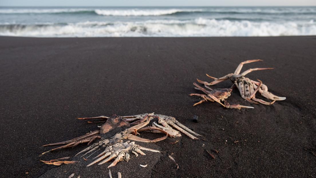 """""""Crearon el planeta, pueden matar a humanos"""": bióloga explica qué son las 'mareas rojas' supuestamente culpables del desastre ecológico en Kamchatka"""