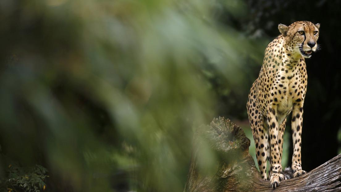 VIDEO: Captan la desesperada lucha de un pequeño antílope africano contra un guepardo