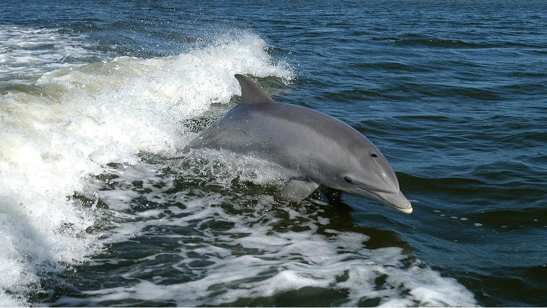 ¿Frustración sexual? Científicos estudian qué convirtió a un delfín en un cruel asesino