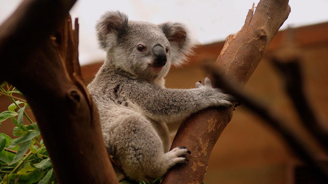 VIDEO: Con esta 'cara de pocos amigos' recibió un koala veterano a otro más joven en su refugio