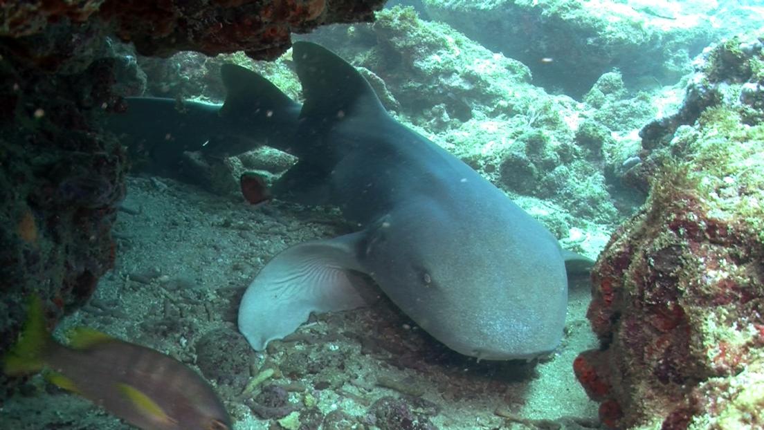 Un tiburón muerde en el tobillo a un hombre y no lo suelta durante 15 minutos