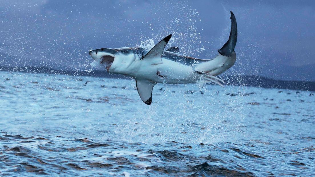 VIDEO: El ataque de un tiburón blanco a una foca deja teñidas de sangre las aguas de una playa