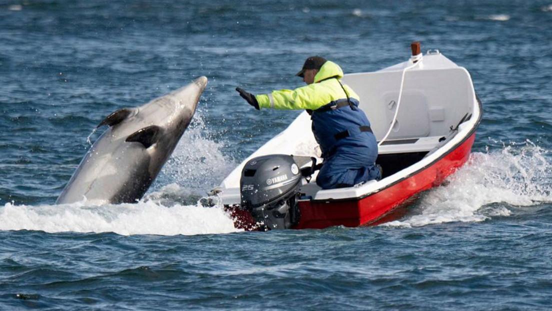 Fungie, un amistoso y célebre delfín de Irlanda, desaparece sin dejar rastro después de 37 años