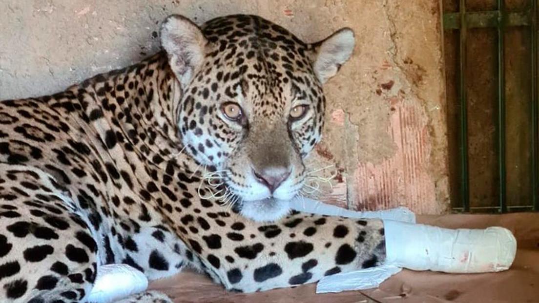 VIDEO: El emotivo momento en que Ousado, un jaguar que sufrió heridas graves durante los incendios del Pantanal, regresa a su hogar