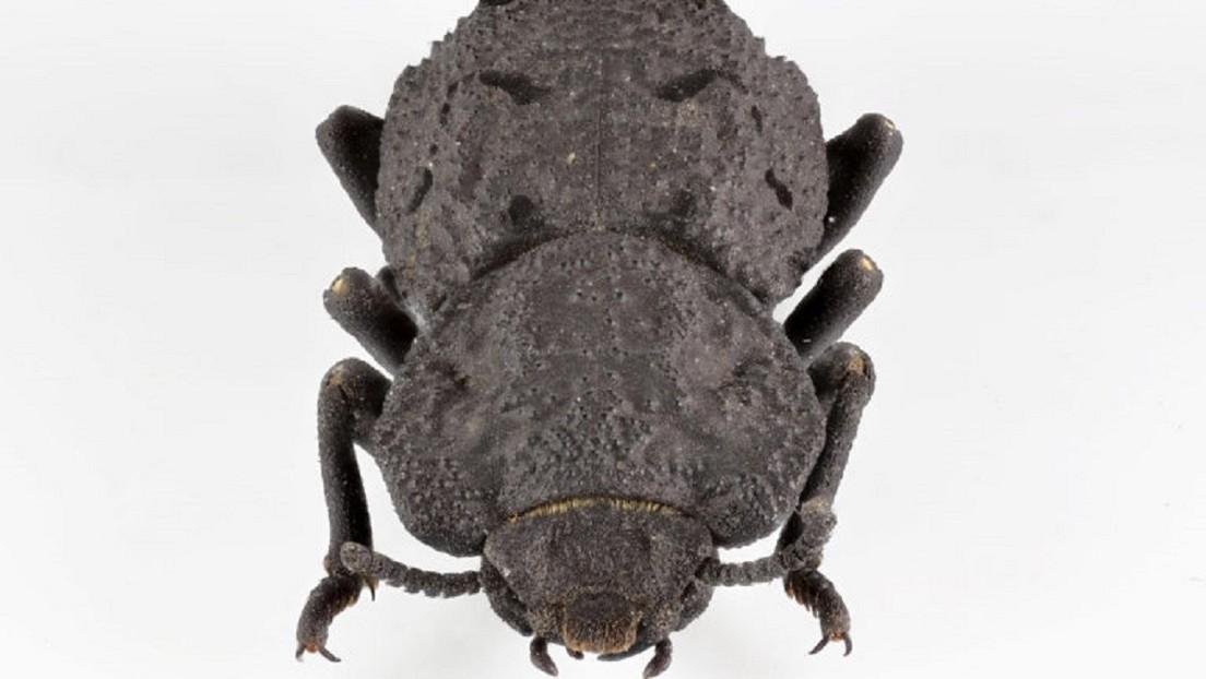 VIDEO: Descubren el secreto de la extraordinaria resistencia de un escarabajo que puede sobrevivir al atropellamiento de un automóvil