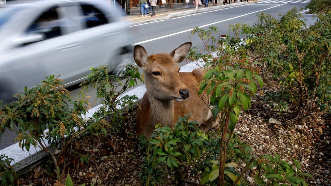 Un japonés inventa un empaque comestible para salvar a los ciervos sagrados de Nara, luego que varios ejemplares murieran por comer bolsas de plástico