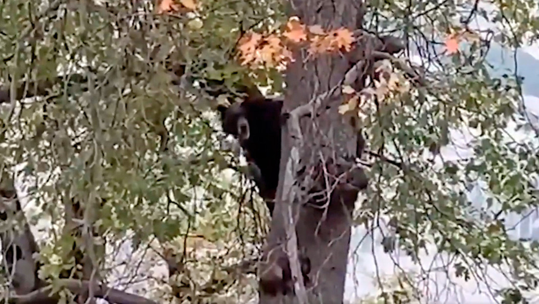 VIDEO: Un oso interpreta un 'concierto a capela' desde un árbol y los internautas lo comparan con Chewbacca de 'La Guerra de las Galaxias'