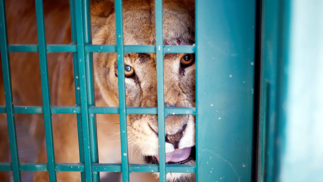 """VIDEO, FOTOS: Encuentran docenas de animales salvajes """"hambrientos, débiles y explotados con fines de lucro"""" en un zoológico de África"""
