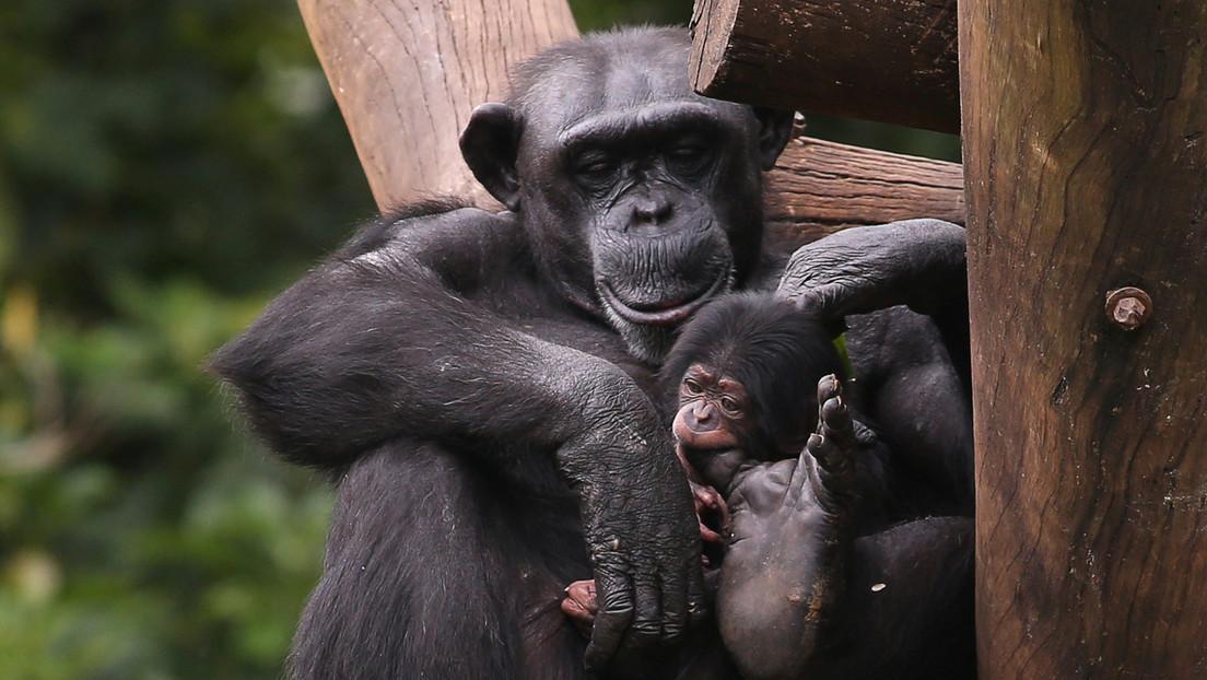 Gli scimpanzé diventano più selettivi riguardo agli amici man mano che invecchiano, proprio come gli umani