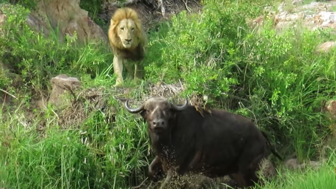 VIDEO: Graban el mortal ataque de una manada de leones a un búfalo con la pata rota