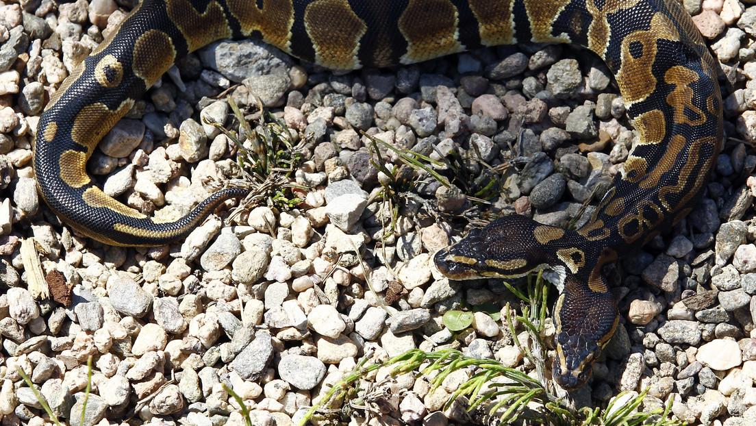 FOTOS: Un gato casero encuentra una rara serpiente de dos cabezas en EE.UU.