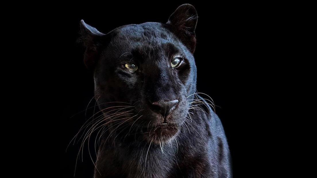 """Un hombre paga 150 dólares por poder tener una experiencia de """"pleno contacto"""" con un leopardo negro y acaba mutilado"""