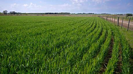 Argentina se convierte en primer país del mundo en aprobar trigo transgénico en medio de la alarma de los ambientalistas
