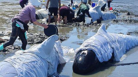 Mueren 19 ballenas piloto tras un varamiento masivo en Nueva Zelanda