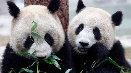 VIDEO: Captan en video el cortejo y la cópula de una pareja de pandas salvajes, un evento pocas veces documentado