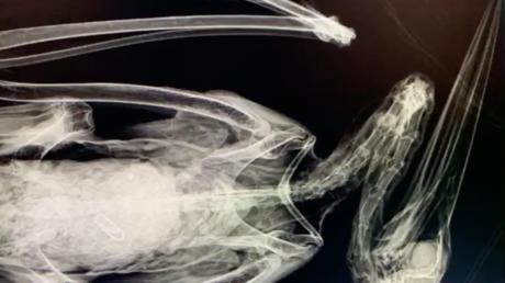 VIDEO: Crudas imágenes muestran una cigüeña muerta por haber comido centenares de gomas de plástico tiradas por humanos