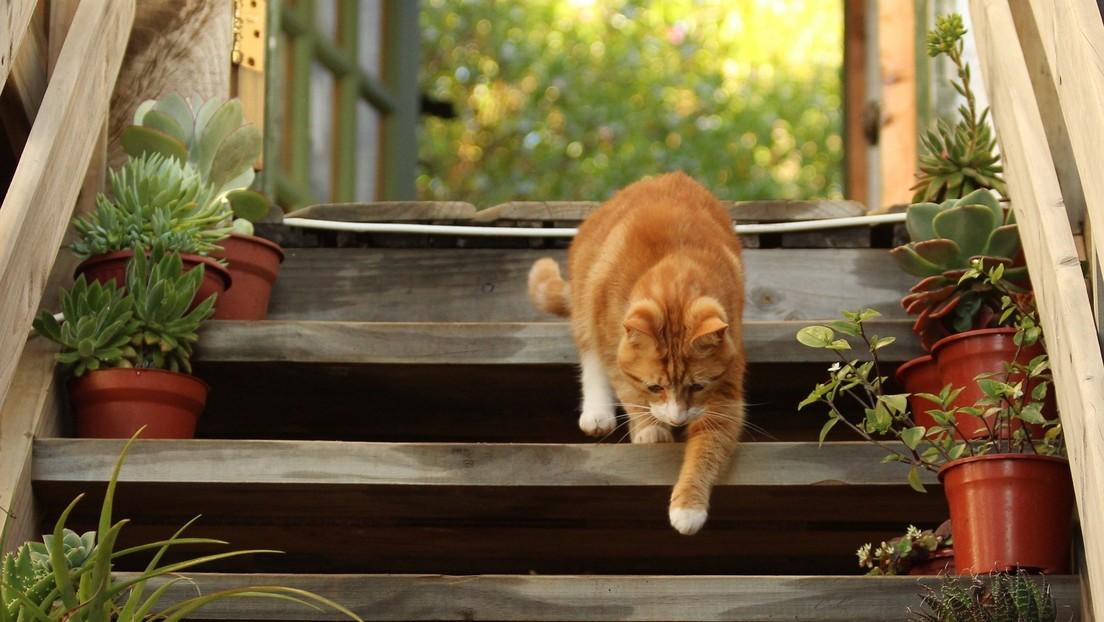 VIDEO: Un gato 'cabezota' baja por una escalera mecánica en sentido contrario y conquista a millones de internautas