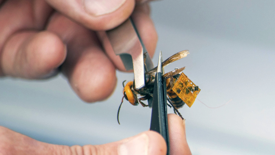 """El método """"de vanguardia"""" utilizado para infiltrarse en el primer nido de avispones asiáticos 'asesinos' hallado en EE.UU. y destruirlo"""