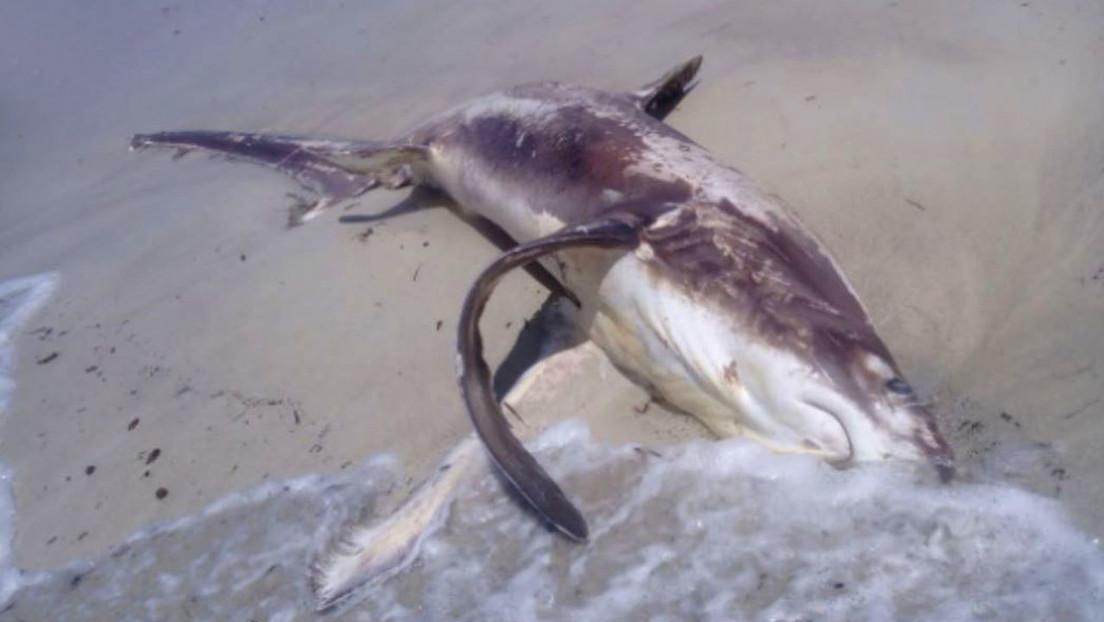 Encuentran un tiburón apuñalado en el corazón por un pez espada, con el 'arma' todavía en su cuerpo