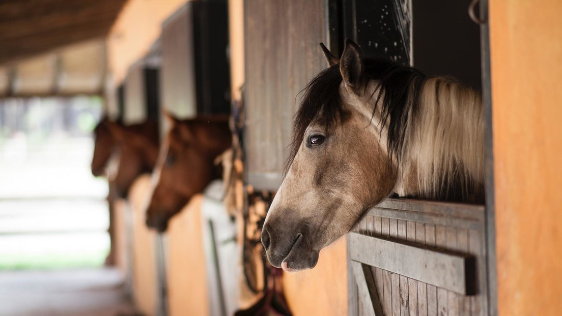Descubren que los caballos necesitan compañía humana pero no dan preferencia a sus amos sobre los extraños