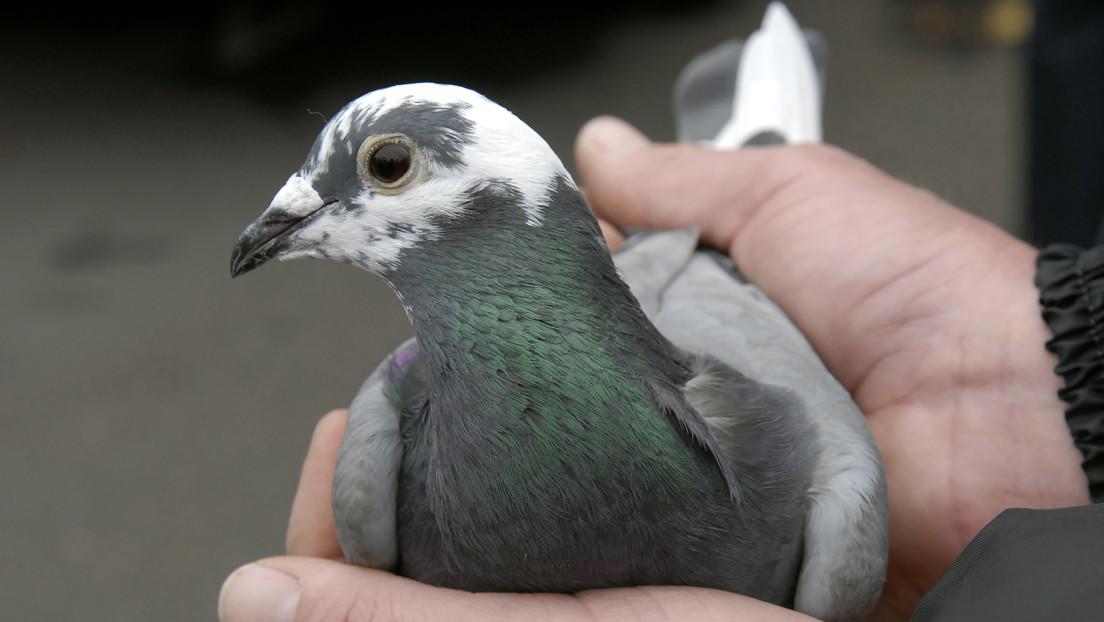 Encuentran en Francia el mensaje de un militar alemán que una paloma mensajera perdió hace 110 años