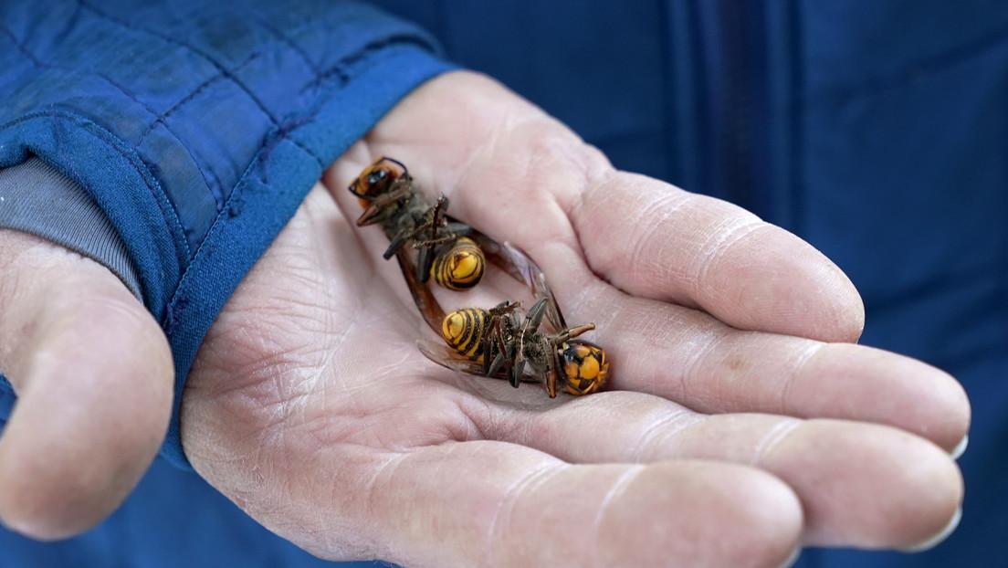 """""""Justo a tiempo"""": hallan cerca de 200 reinas de avispones 'asesinos' en el primer nido destruido en EE.UU."""