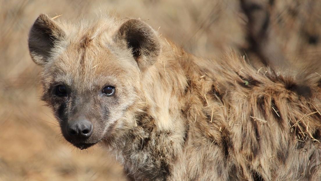 VIDEO: El momento en que una hiena se roba un cachorro de leopardo