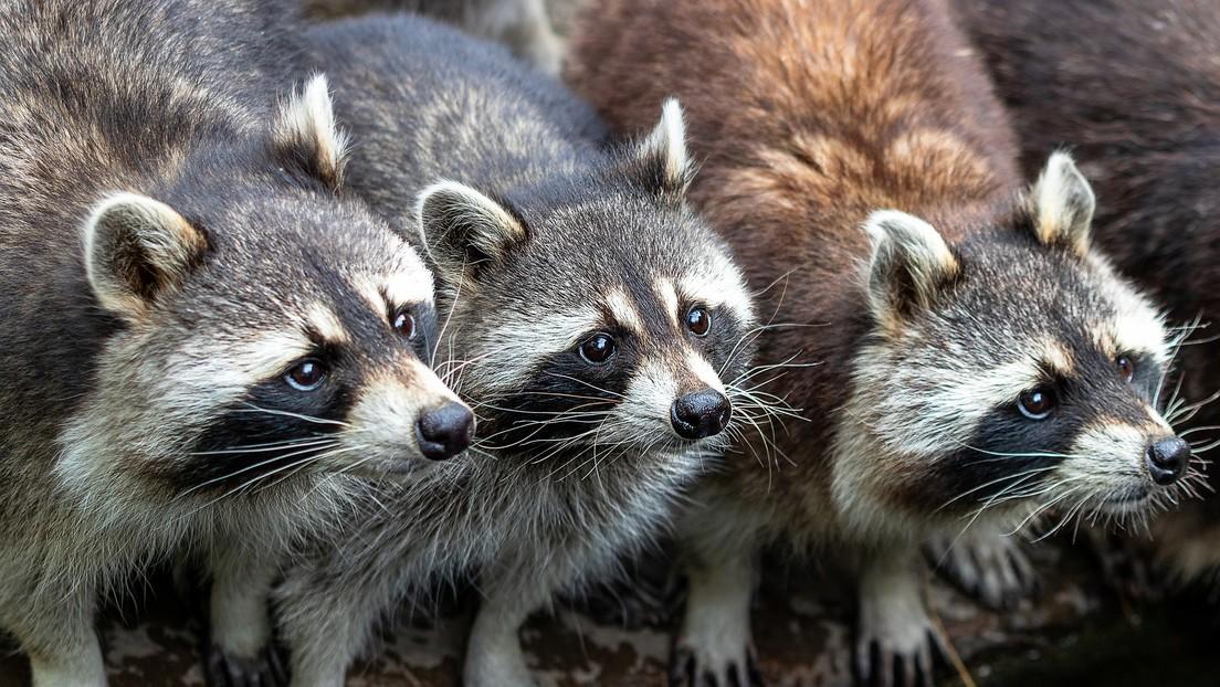 VIDEO: Alimenta a mapaches con salchichas, galletas y crema batida cada noche, cumpliendo una petición de su esposa fallecida