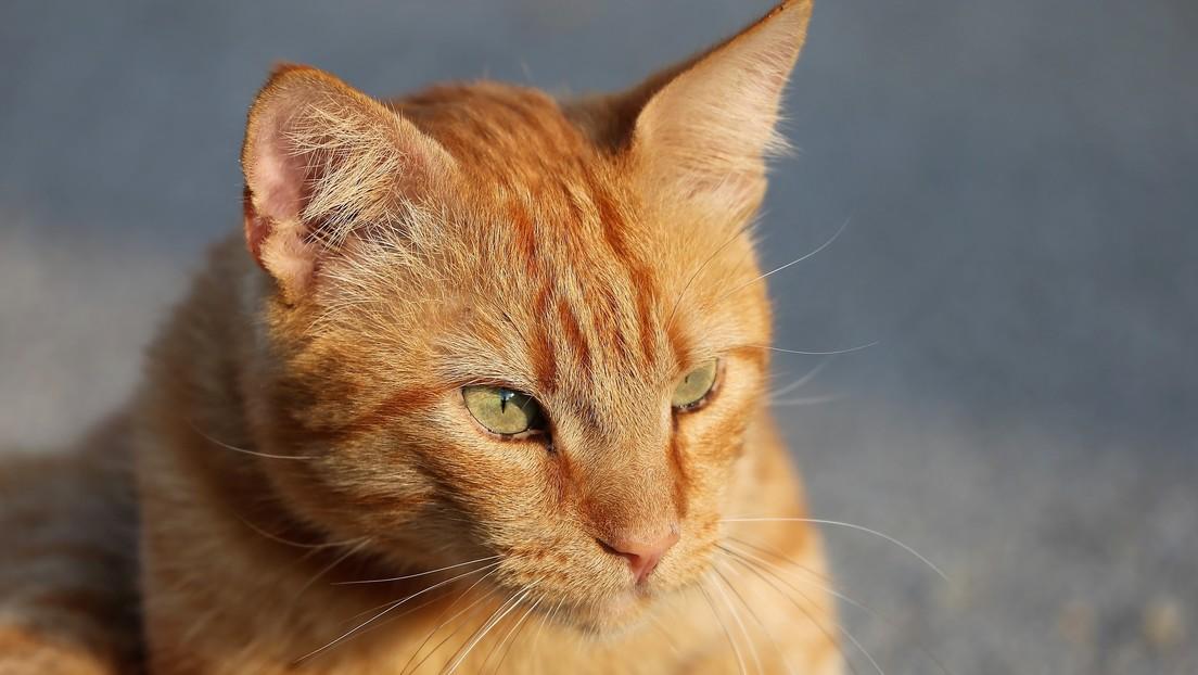VIDEOS: Un gato que sabe 'hablar' y maldecir a sus dueños con la ayuda de nuevas tecnologías se vuelve viral en TikTok