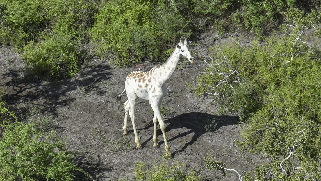 Dotan a la última jirafa blanca del mundo con un GPS para protegerla de los furtivos