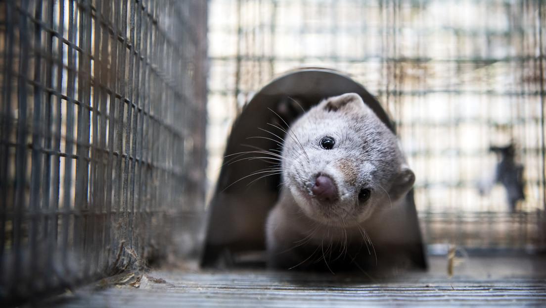 """Dinamarca anuncia que la mutación del covid-19 encontrada en visones del país está """"probablemente erradicada"""""""