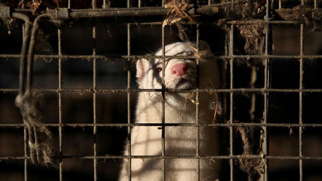 Detectan casos humanos de covid-19 en granjas de visones en Suecia