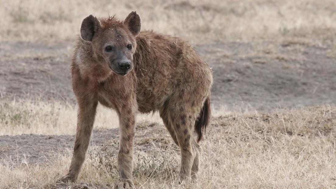 Hienas arrastran a un anciano desde su cama y lo mutilan hasta matarlo