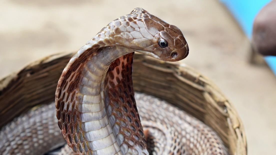 Hombre que se recuperó de la malaria, el dengue y el coronavirus es mordido por una serpiente venenosa en la India