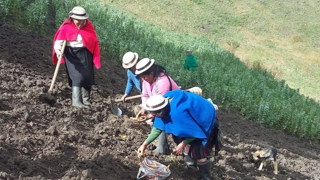 Mujeres indígenas rescatan la 'mashua' en Ecuador, un tubérculo al que se le atribuyen propiedades medicinales