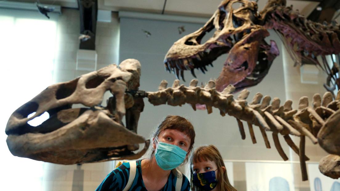 'Dinosaurios en duelo': los fósiles de un T-Rex y un Triceratops en plena batalla serán exhibidos en público por primera vez