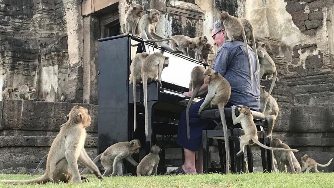Un músico 'sacia' el hambre de los monos tocando el piano en un antiguo templo en Tailandia (VIDEO)