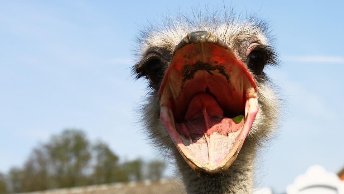 VIDEO: Un avestruz intenta comerse el dedo de un turista que lo estaba alimentando