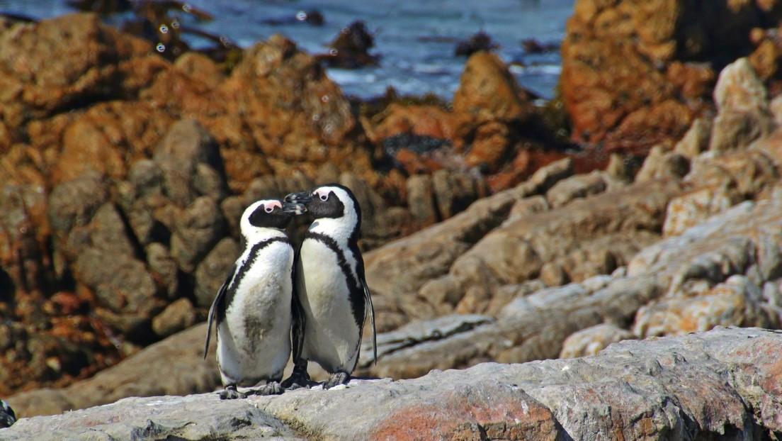 VIDEO: Un acuario cerrado por coronavirus envía a sus pingüinos de excursión a un estadio