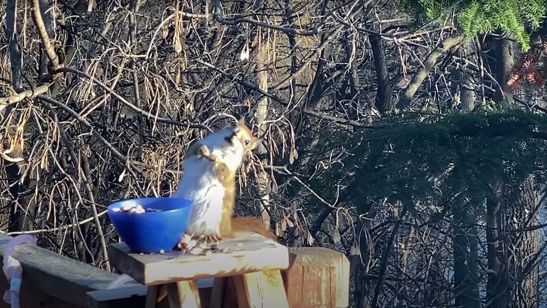 VIDEO: Una ardilla roba unas peras fermentadas y se emborracha