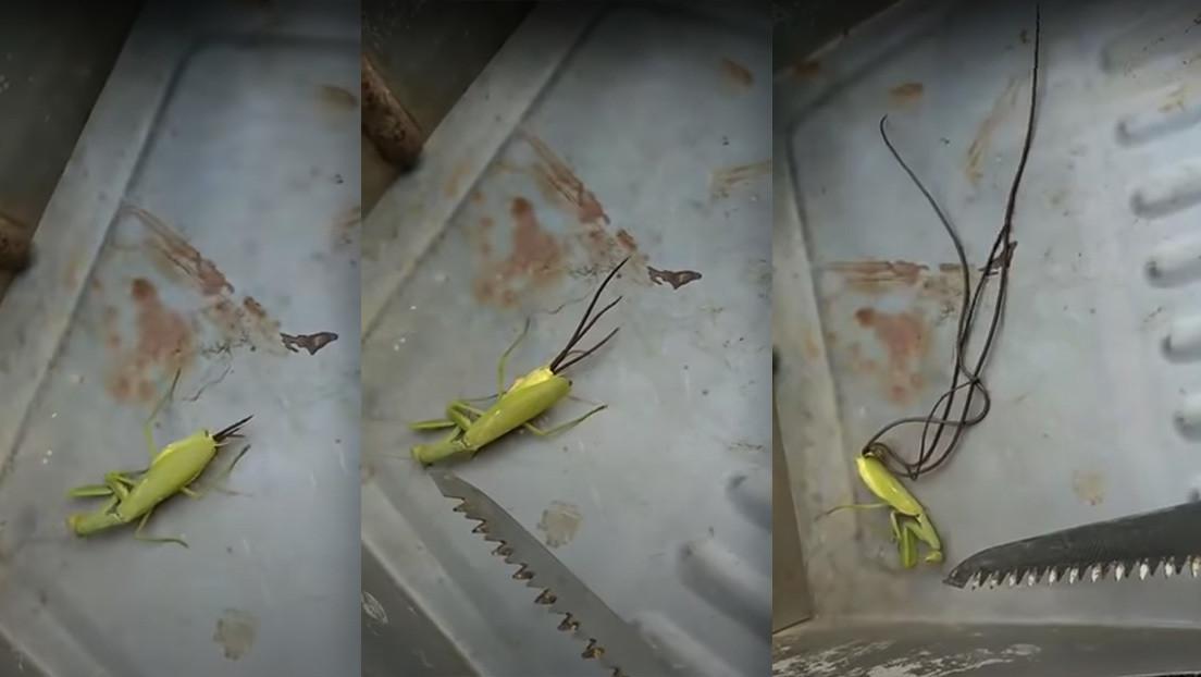 """""""Llamen a los Hombres de Negro"""": filman cómo unos enormes tentáculos perforan la cola de una mantis muerta"""
