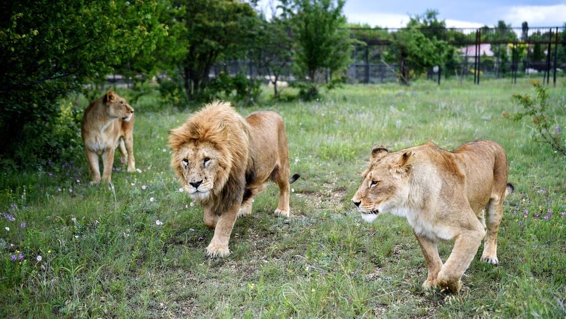 Leones en cautiverio se mutilan unos a otros ante los vistantes de un parque safari