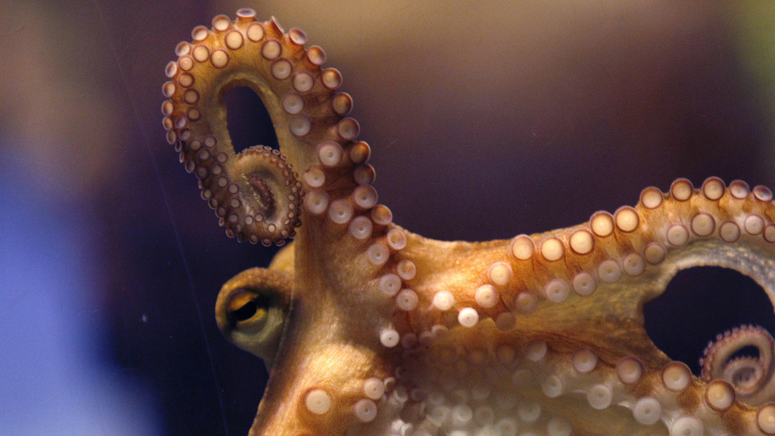 FOTO: Encuentran en Japón un raro pulpo con 9 tentáculos