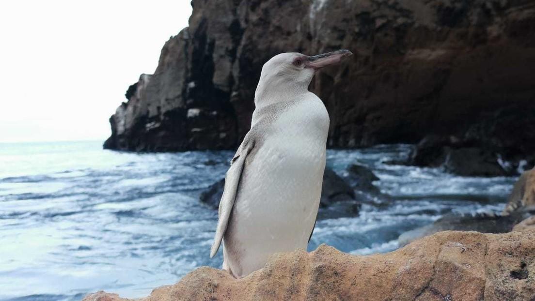 FOTOS: Encuentran un raro pingüino blanco en las Islas Galápagos