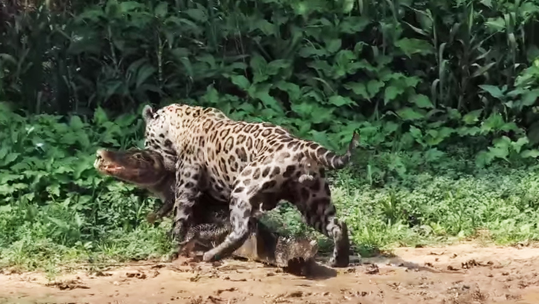 VIDEO: Un caimán despistado se convierte en presa fácil de un jaguar