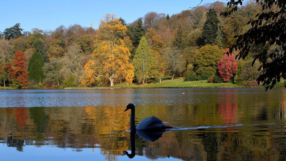 """""""Fue terrible verlo"""": Reportan extrañas muertes de cisnes en el Reino Unido tras sangrar por las fosas nasales y nadar en círculos"""