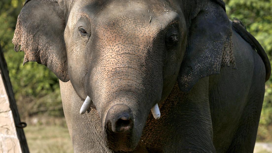 """Kaavan, el elefante más """"solitario"""" del mundo, se asentará en Camboya tras 35 años de calvarios en un zoo pakistaní"""