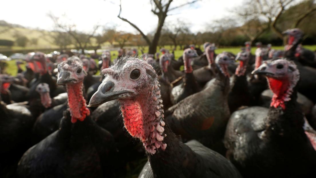 Detectan un brote de gripe aviar en una granja de pavos de Reino Unido